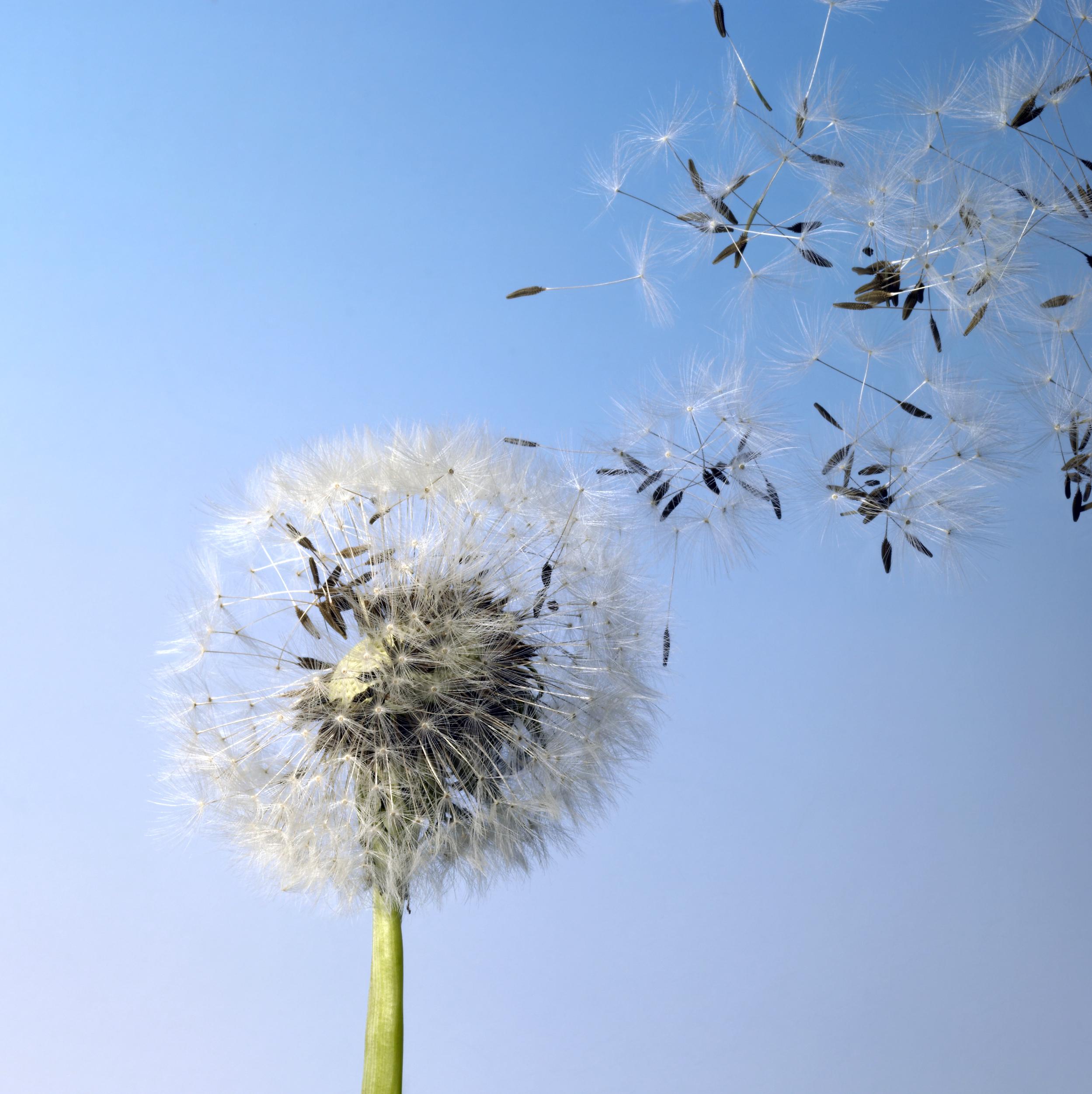 flying dandelion seeds in blue back
